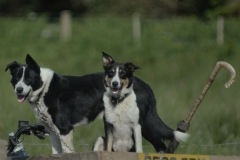 Events_sheepdogTrials_2